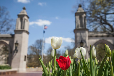 Indiana University Sample Gates Spring Tulips CU