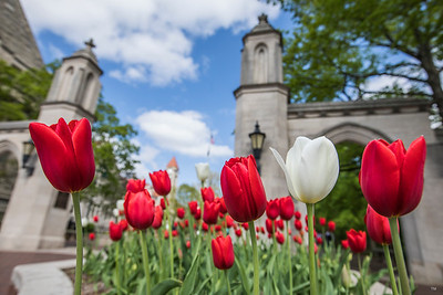 Indiana University Sample Gates Red and White Tulips in the Spring