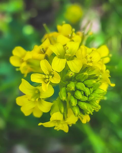 Garden Yellowrocket at Depauw Nature Park in Greencastle Indiana