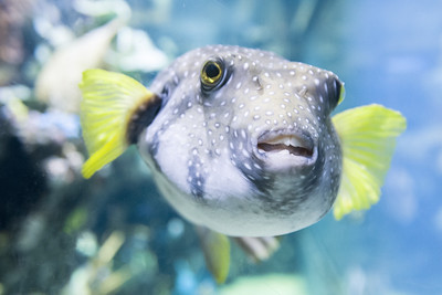 A toothy blowfish swims inside the aquarium at the Fort Wayne Children's Zoo in Fort Wayne, IN on Saturday, August 8, 2015. Copyright 2015 Jason Barnette