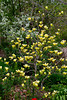 Yellow magnolia flowers in the Stott garden near Goshen, Indiana, USA.