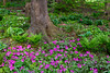 Spring flowers emerge in a shady spot in the Stott garden near Goshen, Indiana, USA.