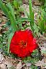 A large red shredded tulip flower in the Stott garden near goshen, Indiana, USA.