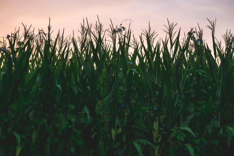 Indiana Corn in Sullivan County