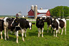 Holstein cows in a pasture near Nappanee, Indiana, USA.