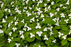 Large white trillium flowers in a forest near Shipshewana, Indiana, USA.