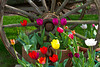 A closeup of an old wagon wheel and spring tulip flowers in Shipshewana, Indiana, USA.