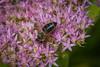 Honey Bee Beeing