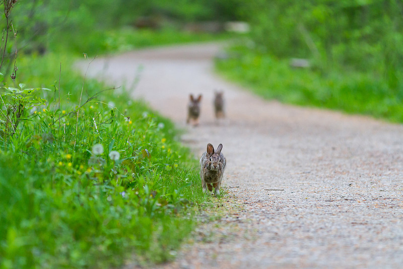 Bunnies on the Trail