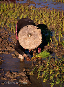 Palaung Woman Planting Rice