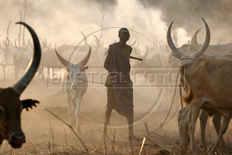 Dinka herders care for their cattle near Mapuordit in the semi-autonomous south Sudan, Nov. 23, 2005. The Dinka is one of the largest tribes of south Sudan, inhabiting the swamplands of the Bahr el Ghazal region of the Nile basin. They are mainly pastoral people, relying on cattle herding at riverside camps in the dry season and growing millet (Anyanjang) in fixed settlements during the rainy season. Among well-known Dinka are supermodel Alek Wek, former NBA player Manute Bol, one of the two tallest players in the league's history and current NBA player Lual Deng. A Jan. 2005 peace accord ended a 21 year civil war in Sudan, in which some 1.5 million were killed. The wat pitted the Muslim-dominated government in Khartoum against the mainly Christian and anamist south. The peace deal includes wealth and power-sharing arrangements, created a national unity government in Khartoum and gives southern Sudan a six-year period of autonomy after which it will hold a referendum on secession. (Douglas Engle/Australfoto)