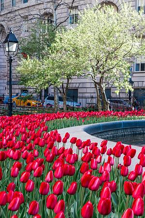 Tulips at Bowling Green