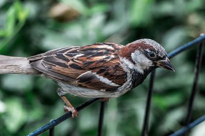 Central Park Sparrow