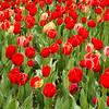 Park Avenue Tulips