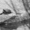 A turtle stretches its legs and neck while resting on a rock in the hospital pond in front of CVPH Medical Center in Plattsburgh. Clear skies allowed the sun to heat the rock for the cold-blooded reptile.<br><br>(P-R Photo/Rachel Moore)