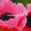 The full bloom of an oriental poppy accents a flower garden.<br><br>(P-R Photo/Rachel Moore)