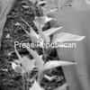 A line of pepper plants sprouts in Chris Swiesz's garden. <br><br>(P-R Photo/Rachel Moore)