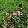 A released pheasant. <br><br>(P-R file photo)