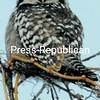 The hawk owl that has been spotted in Peru has drawn bird-watchers from around this area and even other states.<br><br>(P-R Photo/Joanne Kennedy)