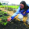 Anne Lenox Barlow, horticulture educator with Cornell Cooperative Extension in Clinton County, examines tomato plants for signs of disease. She is concerned about the spread of late blight, which causes stem lesions and plant death.<br><br>(Staff Photo/Kelli Catana)