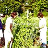 Mary Alice Shemo (left) and Anne Lenox Barlow (center) inspect the Japanese-beetle damage to Lonnie Fairchild's bean leaves.<br><br>(Staff Photo/Robin Caudell)