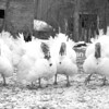 Broad-breasted white turkeys strut their stuff at Perennial Pursuits in Keeseville. The birds owned by Matt and Liz Cauthorn are being raised as holiday turkeys. <br><br>(P-R Photo/Joanne Kennedy)