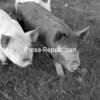 Piglets for sale on Leonard Swinton's farm.<br><br>(P-R Photo/Andrew Wyatt)