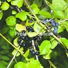 Buckthorn berries (left) compete with grapes (right) for a niche in local habitats.<br><br>(P-R Photo/Elizabeth Lee)