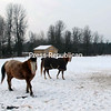 Buddy, a 10-year-old POA (Pony of America), and Precious, a 21-year-old Arabian covered by a horse blanket, seem to enjoy the warmer temperatures as they take a walk in a pasture off Route 9 in Plattsburgh. The pair are pleasure horses owned by Maurice and Gina Gilbert.<br><br>(P-R Photo/Joanne Kennedy)