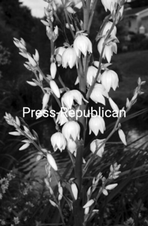 Yucca is commonly called Adam's needle. Here is a bloom from one of the Kent-Delord House Museum secret gardens<br><br>(Staff Photo/Robin Caudell)