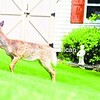A whitetail deer nibbles on some bushes outside a home on Cumberland Head Road.<br><br>(Staff Photo/Kelli Catana)