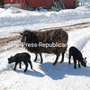 Despite the huge snowfall amounts in the past week, you can be sure  spring has arrived when you see newborn babies such as these lambs out enjoying the sunshine. The twin 2-week-old Shetland babies are home at Country Dreams Farm in Plattsburgh.<br><br>(P-R Photo/Joanne Kennedy)