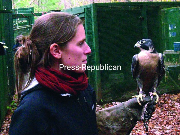 Laura Cerruti, a volunteer at the Adirondack Wildlife Refuge and Rehabilitation Center, with Angel, a peregrine falcon from Los Angeles who was brought to the center after he was injured during a 240 mph dive. Angel now helps Cerruti educate visitors on the harmful effects of pesticides on raptors.<br><br>(P-R Photo/Shaun Kittle)