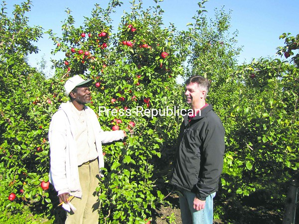 Jamaican Camp Manager  Glenroy Manning (left) and Chazy Orchards General Manager Jay Toohill look over the fruit on a tree at Chazy Orchards. Manning has been coming to the orchard to pick for 37 years.<br><br>(P-R Photo/Bruce Rowland)