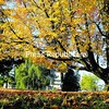 An oak tree boasts beautiful orange leaves on the grounds of Chazy Central Rural School. <br><br>(P-R Photo/Rob Fountain)