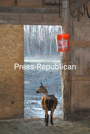 An Oberhasli goat on Welbian Farm stands in a doorway soaking in some sunshine on an unseasonably warm late-winter day. The Peru farm, owned by Donna and Glen Pearce, is home to two national champions.<br><br>(P-R Photo/Joanne Kennedy)