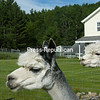 Qilli (left) and Melissa, from the alpaca herd at Elfenwood Farms in Jay. (CHRIS FASOLINO/P-R PHOTO)