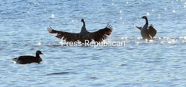 ROB FOUNTAIN/STAFF PHOTO 12-1-2016 Canada geese flap their wings in the sun during a bath in Lake Champlain behind the McDonald's restaurant on Route 9 in Plattsburgh. With the temperatures beginning to get colder, look for the geese to start gathering in larger numbers to head south for the winter.