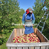 Dwight Bennett from Jamaica picks McIntosh apples at Forrence Orchards in Peru. Bennett, who has been employed by the orchard for 18 years, is harvesting fruit damaged by severe summer storms that will be used for apple sauce and juice.<br /> JOANNE KENNEDY/P-R PHOTO 9-13-2016