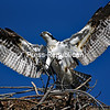 JOANNE KENNEDY/P-R PHOTO<br /> An osprey spreads its wings as it leaves a nest at Ausable Point State Park. With the arrival of spring, three pair of osprey have taken up residence atthe popular park, attracting many photographers and birders.  The large raptor relies mainly on a diet of fish and can have a wing span of up to 70 inches.