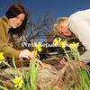 JACK LADUKE/ P-R PHOTO<br /> Kelly Brunette (left) and Pamela Merritt of the Regional Office of Sustainable Tourism look over some of the daffodils that are blooming in Saranac Lake. The annual Daffest flower festival takes place today. More information, Pages A3 and A4.
