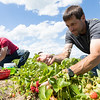 GABE DICKENS/ P-R PHOTO<br /> Jason Gowett and his 14-year-old son, Scott, pick strawberries at Rulfs Orchard in Peru on a recent afternoon. Along with Jason's daughter, Caitlyn, 16; girlfriend, Tina Ring; and her 10-year-old daughter, Mackenzie, the family came away from the field with upwards of 17 bowls of strawberries that they planned to use to make jam and pies, among other treats. They were at Rulfs for the annual Strawberry Festival, which offered wagon rides, food, music and more.