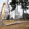ROB FOUNTAIN/ STAFF PHOTO<br /> A large pine tree was brought down in the park by high winds early Thursday at Seton Catholic High School in Plattsburgh. Strong winds swept throughout the region, starting Wednesday night, knocking down trees and power lines.