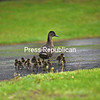 KAYLA BREEN/ STAFF PHOTO<br /> A momma duck closely watches her 14 ducklings as they enjoy the heavy rain on Cogan Avenue in Plattsburgh. Rain is in the forecast for today and Friday, so this family should find plenty of water to splash around in this week.