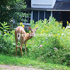 A doe munches on greenery in a flower garden at 129 Bloomingdale Ave. near downtown Saranac Lake. A number of deer frequently visit the village, where they find easy pickings in local gardens.<br /> JACK LADUKE/ P-R PHOTO