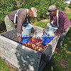 Gilbert Brown (left) and Fitz Bryce, migrant workers from Jamaica, gently place fruit in a crate, harvesting the first McIntosh apples of the season at Forrence Orchards in Peru. Orchard co-owner Seth Forrence noted that the cool weather has been perfect for the color of the apples.<br /> JOANNE KENNEDY/ P-R PHOTO