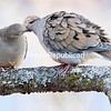 A mated pair of mourning doves preen one another while perched on a tree branch in the late afternoon in Plattsburgh. Mourning doves, which usually are monogamous, are one of the most common bird species in the United States and likely benefited greatly from European colonization and eventually urbanization as it occupies a broad range of habitat but avoids unbroken forest. The birds are also prolific breeders, raising up to six broods of two offspring each in a year. Mourning doves are one of the leading game birds in the country, with 20 to 70 million birds taken every year.<br /> GABE DICKENS/ P-R photo