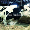 A cow with protruding hip bones munches hay in new quarters at Maple Shade Farm in Chazy on Friday. She was among 35 removed from the farm at 557 Rapids Road on Friday by the Clinton County Sheriff's Department. Gerald G. Guay was charged with 34 counts of animal cruelty after six cows were found dead there, authorities say.<br><br>(GABE DICKENS/P-R PHOTO)
