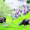 """Several hundred visitors turned out at Sugar House Creamery in Upper Jay for the recent Green Grass Getdown, a celebration of spring and local farm food. The event, which included a local food fair and the first regional farmers market of the spring, kicked off with the procession of the farm's brown Swiss cows to pasture in the manner of the Swiss tradition of sending the herd to high alpine meadows to graze. Guests also sampled and bought fare from Asgaard Farm, the Clay Hearth, Fledging Crow Vegetables, Juniper Hill Farm, Mace Chasm Farm, North Country Creamery and other local food providers. Margot Brooks, who with Alex Eaton runs Sugar House Creamery, was pleased with the turnout. """"I want it to be an annual affair,"""" she said. """"It shows that people are enthusiastic about local produce and farms."""" (ALVIN REINER/P-R PHOTO)"""