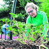 """With a threat of rain looming overhead, Dee Polhemus plants geraniums in her front yard on Tuesday in Plattsburgh. """"I wanted to get them in before it rained,"""" she said. """"They are left over from last year, and they are three-year replanters.""""<br><br>(ROB FOUNTAIN/STAFF PHOTO)"""